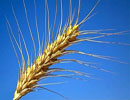 ضرب المثل هم از گندم ری جاماند, هم خرمای بغداد