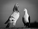 داستان ضرب المثل کبوتر با کبوتر باز با باز