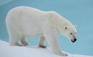 تست هوش خرس قطبی