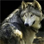 ضرب المثل توبه گرگ مرگ است