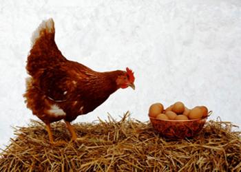 تست هوش مرغ و تخم مرغ!