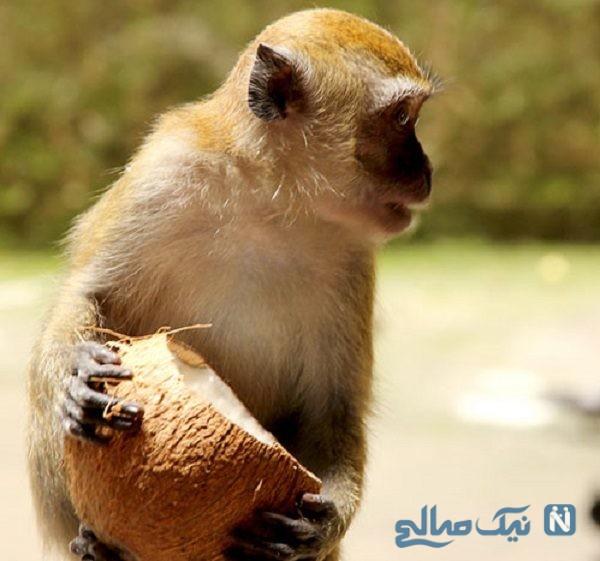 هیچ میمون پیری دستش را در نارگیل نمیکند