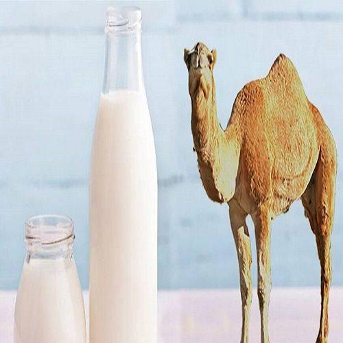 خواص فوق العاده شیر شتر برای پوست و زیبایی